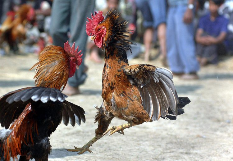 An example of fighting roosters